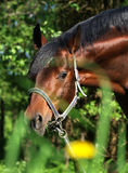 Spring portrait of bay horse Stock Image