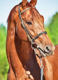 Spring portrait of chestnut Trakehner stallion. Close up stock photos