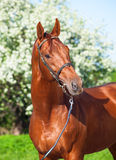 Spring portrait of chestnut Trakehner stallion Royalty Free Stock Images