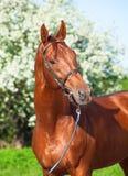 Spring portrait of chestnut Trakehner stallion. Sunny Royalty Free Stock Images