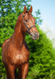 Spring portrait of chestnut Trakehner stallion. Sunny day stock image