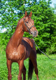 Spring portrait of chestnut Trakehner stallion. Sunny day stock images