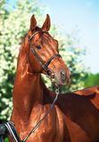 Spring portrait of chestnut Trakehner stallion Royalty Free Stock Photo