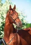 Spring portrait of chestnut Trakehner stallion. Sunny day Royalty Free Stock Photo