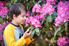 Spring portrait of cute attractive 10 year old boy smelling blossoming pink Rhododendron in the garden stock photos