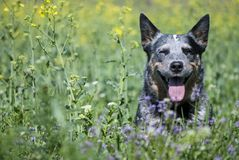 Spring portrait of happy Australian Cattle Dog on green grass. royalty free stock photography