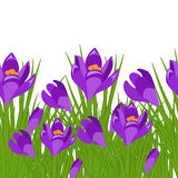 Spring postcard with purple crocus. Early spring purple flower Crocus for Easter on white background. Vector illustration Stock Illustration