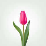 Spring postcard red tulip on a light background. Crimson tulip with beautiful green leaves Stock Image