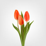 Spring postcard red tulips on a light background Royalty Free Stock Photo