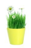 Spring in a pot Royalty Free Stock Photo
