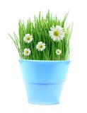 Spring in a pot Royalty Free Stock Image