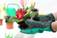 Spring pot plants. Spring planting pot plants. Planting potted plants stock photos