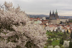 Spring Prague City with gothic Castle and the green Nature and flowering Trees, Czech Republic Stock Photos
