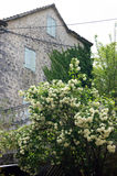 Spring in Prcanj. Lush flowering bush near the old stone house Stock Image