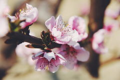 Spring. Pretty cherry tree in spring Stock Photography