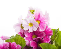 A spring primrose is in a bouquet, floral Royalty Free Stock Image