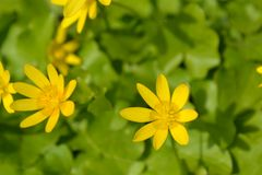 Spring primrose - buttercup stock photo