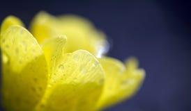Spring primrose flower  Stock Photo