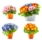 Spring primrose flowers. Flowerpots with colorful primula bunch collection isolated on white background Stock Photos