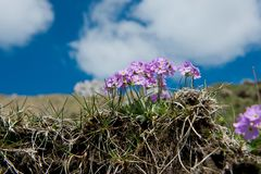 Spring Primrose in the German Alps Royalty Free Stock Photography