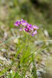 Spring Primrose in the German Alps Royalty Free Stock Image
