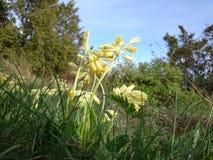 spring primrose Royalty Free Stock Image