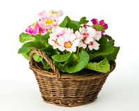 Spring Primroses Royalty Free Stock Photography