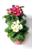 Spring primroses Royalty Free Stock Images