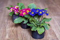 Spring primroses flowers on a wooden background. Pots with different colors primroses Royalty Free Stock Photo