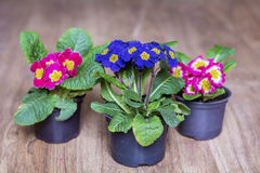 Spring primroses flowers on a wooden background Royalty Free Stock Photo