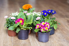 Spring primroses flowers on a wooden background. Pots with different colors primroses Stock Photography