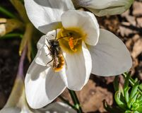 Spring primroses snowdrop and bee collecting nectar for honey ma Royalty Free Stock Photography