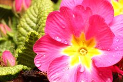 Spring primula flower Royalty Free Stock Image
