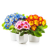 Spring primula flowers. Spring flowers. Flowerpots with primrose primula flower isolated on white background clipping path included Stock Image