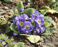 Spring primula Stock Images