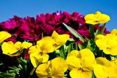 Spring primulas and colorful flower Royalty Free Stock Photo