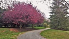 Ornamental Crabapple Trees Blooming along Walking Trail stock image