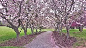 Blooming Ornamental Cherry Trees Line a Walking Trail stock photos