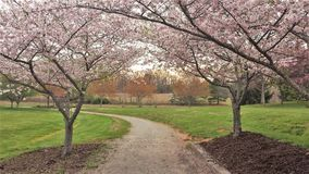 Blooming Ornamental Cherry Trees Line a Walking Trail stock photography