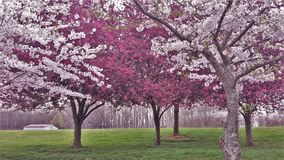 Ornamental Cherry and Crabapple Trees Blooming stock images