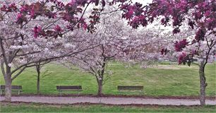 Ornamental Cherry and Crabapple Trees Blooming royalty free stock photo