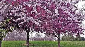 Ornamental Cherry and Crabapple Trees Blooming. Spring produces pink and fuchsia blooms from ornamental cherry and crabapple trees at a park in Tobaccoville stock image