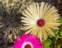 Wild Portulaca Flowers of South Africa. Spring proliferation of wild flowers along the South Western Coasts of South Africa stock images