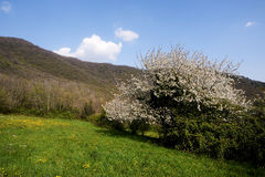 Spring. Provaglio d'Iseo (Bs),Franciacorta, Italy, a cherry bloom stock images
