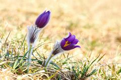 Spring pulsatilla Stock Photo