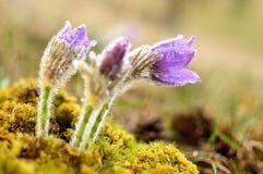 Spring pulsatilla. Beautiful spring pulsatilla flowers with purple petals Stock Photos