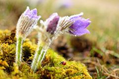 Spring pulsatilla Royalty Free Stock Images