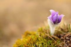 Spring pulsatilla. Beautiful spring pulsatilla flowers with purple petals Stock Images