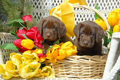 Spring Puppies. Two Labrador Puppies in Basket of Tulips Royalty Free Stock Photography