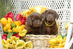 Spring Puppies Stock Images